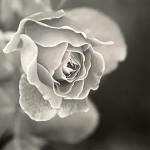 Roses by Tom Bunn photography priced at $350